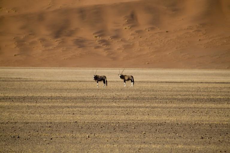 Orys en el Namib
