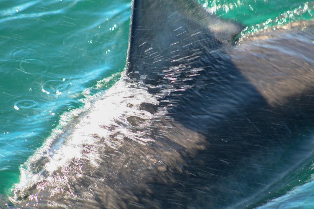 Sudafrica - Tiburon Blanco - George