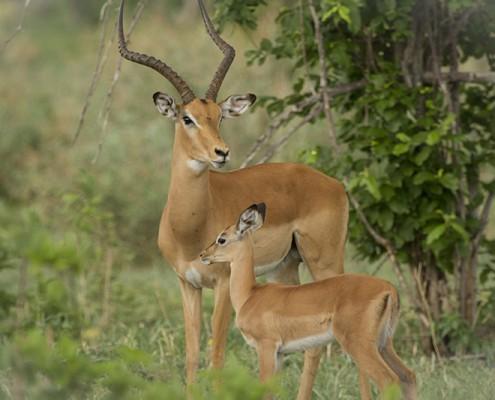 Impalas en Moremi