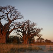 Baobabs de Baines - Nxai Pan