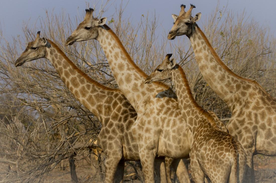 Botswana-jirafas