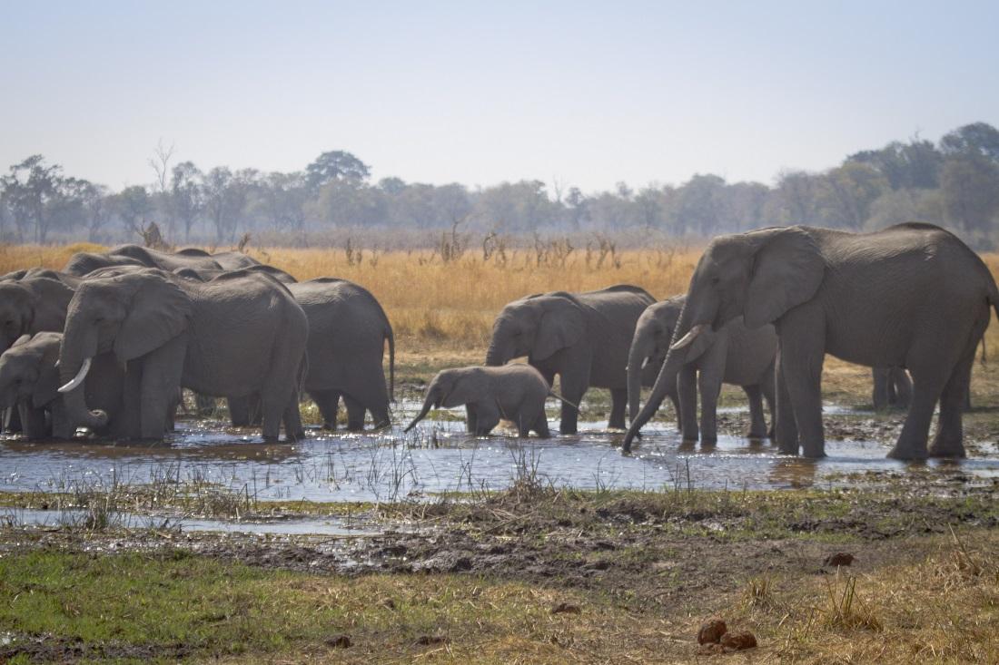 Botswana-elefantes