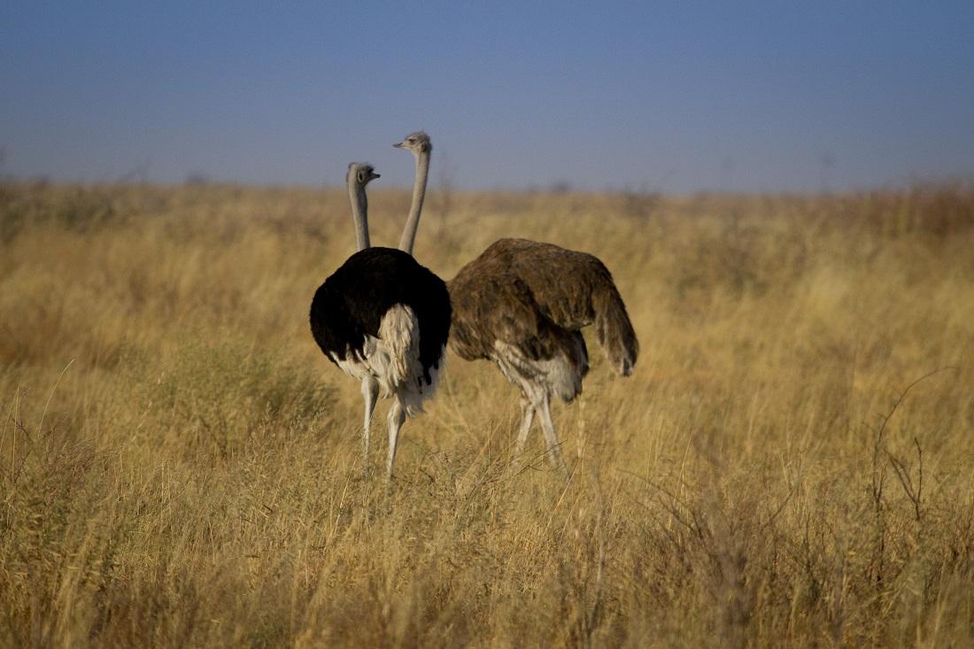 Botswana-avestruz