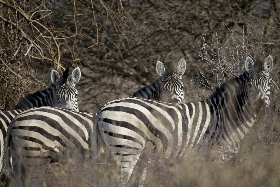 Botswana-cebras