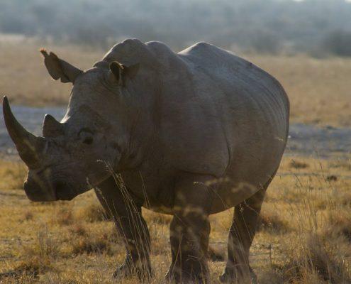 Rinoceronte en Khama Rhino Sanctuary