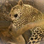Leopardo, South Luangwa
