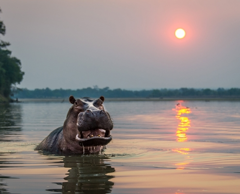 Hipopotamo - Luangwa River Camp