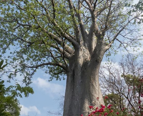 Baoba sobre el río Zambezi