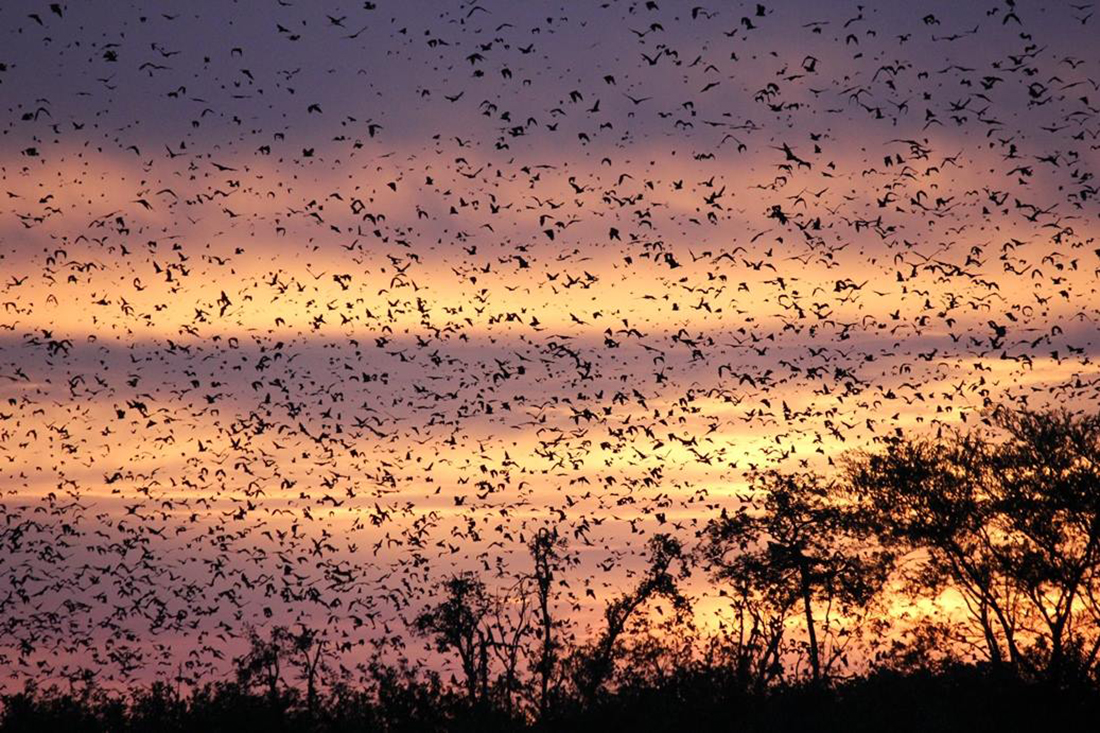 bat migration kasanka