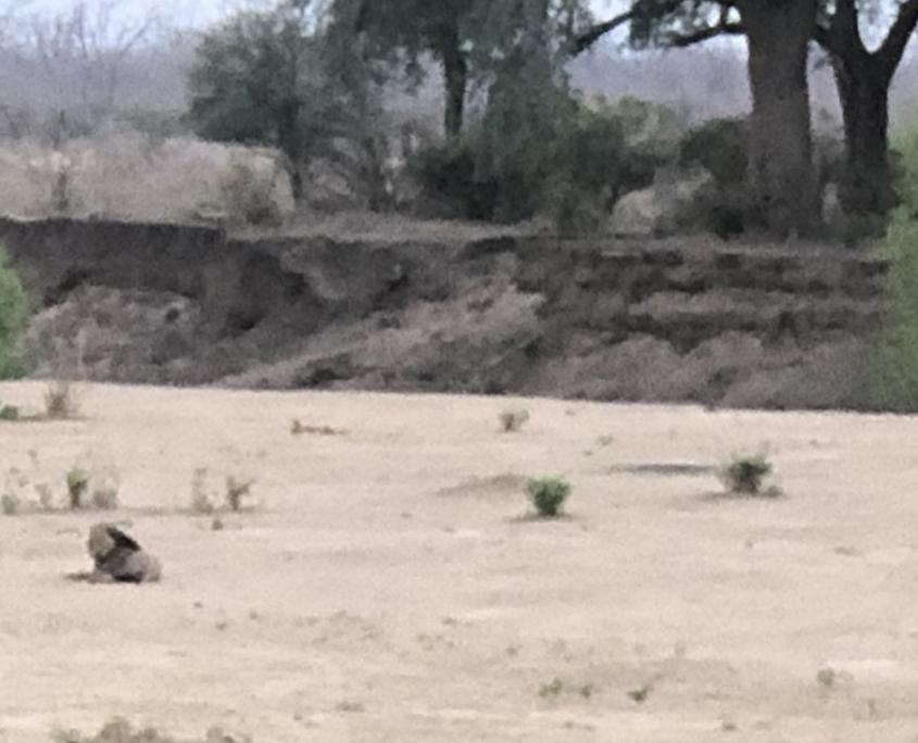 Leon en Lower Zambezi