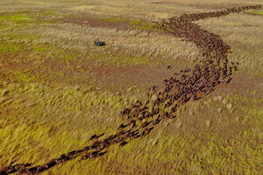 Migracion de ñus - King Lewanika