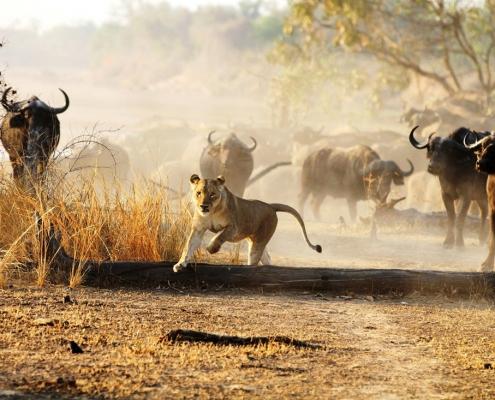 Safari - Time + Tide Nsolo