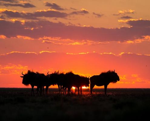 Liuwa Plains, migracion de ñus